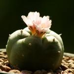 Ученого-ботаника могут посадить на десять лет за распространение галлюциногенных кактусов