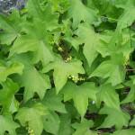 Растение Диоскорея. Что-то новенькое?