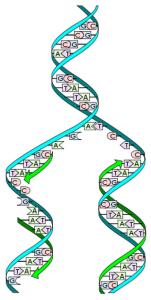Найдена сила раскручивания молекулы ДНК