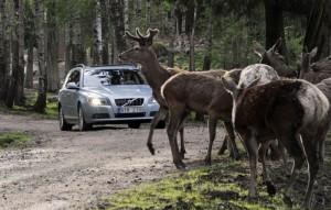 Разработана электронная система борьбы с оленями и лосями на автомобильных дорогах