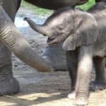 слониха Матджека из зоопарка Тампы в штате Флорида, выбрала для своего детеныша кличку