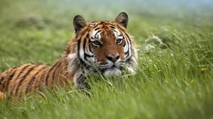 Ученые придумали, как сохранить тигров и других крупных животных кошачьего мира