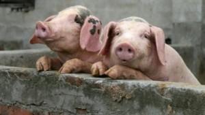 Белорусским свиньям в Россию нельзя! Запрет вступил в действие