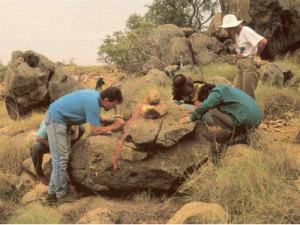 В Австралии найдены останки гигантского утконоса