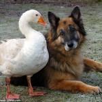 Гусыня Джеральдин спасла овчарку Рекса от усыпления