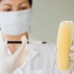 Была опровергнута информация о вредности ГМО кукурузы