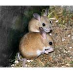 Найден новый вид мышей с особыми наклонностями