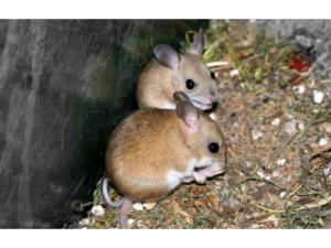 сумчатых мышей