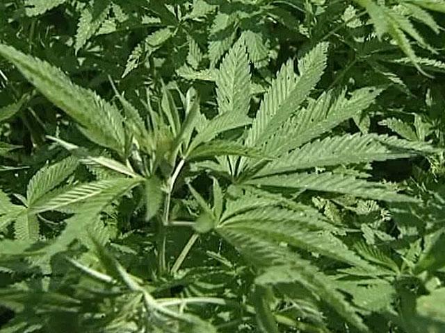 В штате Нью-Йорк теперь легализована марихуана, но лишь в медицинских целях