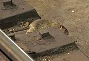 Американск е  журналисты  выложили  видео - доказательство того, что крысы в метро не боятся людей