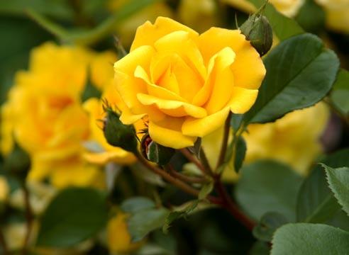 Как выбрать розы? Советы и рекомендации флористов
